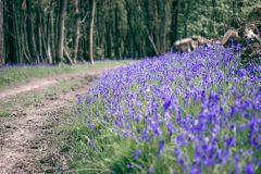 The Bluebell Track