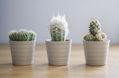 Three Cacti
