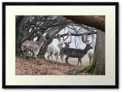 Sussex Bucks - Framed Print